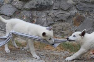 White-Swiss-Shepherd-Puppies-BTWWLPups-290619-0034