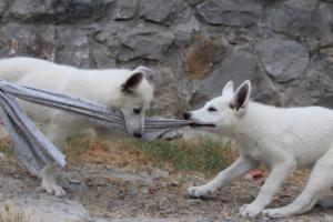 White-Swiss-Shepherd-Puppies-BTWWLPups-290619-0035