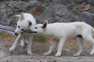 White-Swiss-Shepherd-Puppies-BTWWLPups-290619-0037