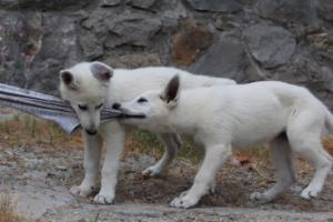 White-Swiss-Shepherd-Puppies-BTWWLPups-290619-0039