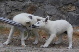 White-Swiss-Shepherd-Puppies-BTWWLPups-290619-0040