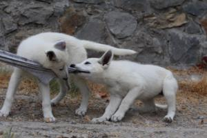 White-Swiss-Shepherd-Puppies-BTWWLPups-290619-0041