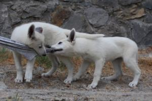 White-Swiss-Shepherd-Puppies-BTWWLPups-290619-0042