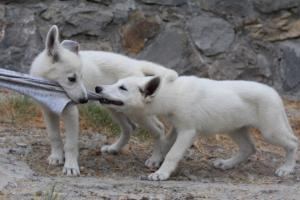 White-Swiss-Shepherd-Puppies-BTWWLPups-290619-0043