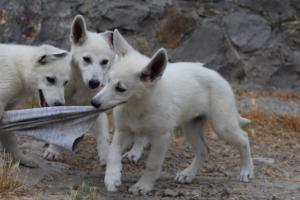 White-Swiss-Shepherd-Puppies-BTWWLPups-290619-0045