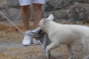 White-Swiss-Shepherd-Puppies-BTWWLPups-290619-0049