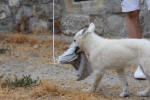 White-Swiss-Shepherd-Puppies-BTWWLPups-290619-0050