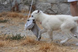 White-Swiss-Shepherd-Puppies-BTWWLPups-290619-0051