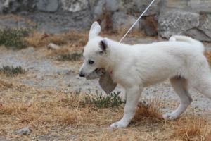 White-Swiss-Shepherd-Puppies-BTWWLPups-290619-0052