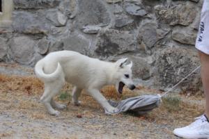 White-Swiss-Shepherd-Puppies-BTWWLPups-290619-0054