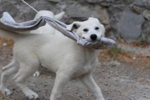 White-Swiss-Shepherd-Puppies-BTWWLPups-290619-0056