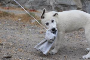 White-Swiss-Shepherd-Puppies-BTWWLPups-290619-0058