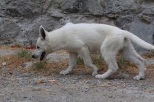 White-Swiss-Shepherd-Puppies-BTWWLPups-290619-0060