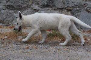 White-Swiss-Shepherd-Puppies-BTWWLPups-290619-0061
