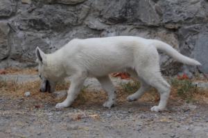White-Swiss-Shepherd-Puppies-BTWWLPups-290619-0062