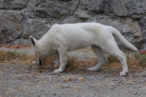 White-Swiss-Shepherd-Puppies-BTWWLPups-290619-0063