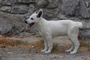 White-Swiss-Shepherd-Puppies-BTWWLPups-290619-0064