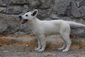 White-Swiss-Shepherd-Puppies-BTWWLPups-290619-0065
