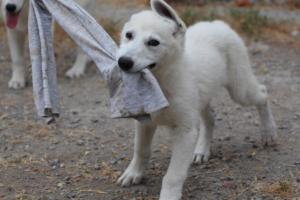 White-Swiss-Shepherd-Puppies-BTWWLPups-290619-0066