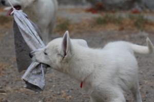 White-Swiss-Shepherd-Puppies-BTWWLPups-290619-0068