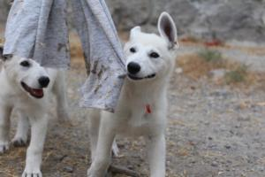 White-Swiss-Shepherd-Puppies-BTWWLPups-290619-0069