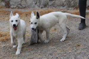 White-Swiss-Shepherd-Puppies-BTWWLPups-290619-0070