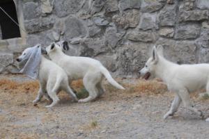 White-Swiss-Shepherd-Puppies-BTWWLPups-290619-0071