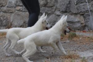 White-Swiss-Shepherd-Puppies-BTWWLPups-290619-0072