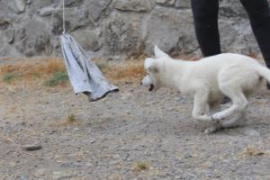 White-Swiss-Shepherd-Puppies-BTWWLPups-290619-0073