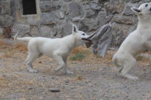 White-Swiss-Shepherd-Puppies-BTWWLPups-290619-0075