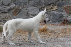 White-Swiss-Shepherd-Puppies-BTWWLPups-290619-0078