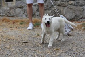 White-Swiss-Shepherd-Puppies-BTWWLPups-290619-0080