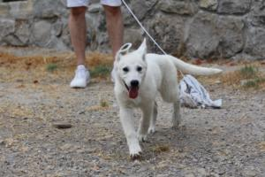White-Swiss-Shepherd-Puppies-BTWWLPups-290619-0081