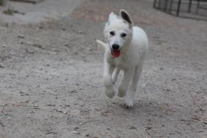 White-Swiss-Shepherd-Puppies-BTWWLPups-290619-0083