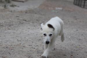 White-Swiss-Shepherd-Puppies-BTWWLPups-290619-0084