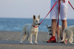 White-Swiss-Shepherd-Puppies-BTWW-N-Litter-05062019-0001