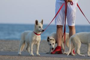 White-Swiss-Shepherd-Puppies-BTWW-N-Litter-05062019-0003