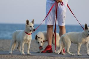 White-Swiss-Shepherd-Puppies-BTWW-N-Litter-05062019-0004