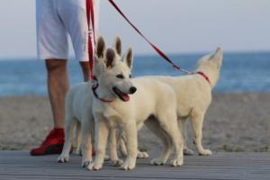 White-Swiss-Shepherd-Puppies-BTWW-N-Litter-05062019-0005
