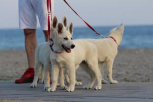 White-Swiss-Shepherd-Puppies-BTWW-N-Litter-05062019-0006