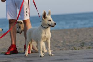 White-Swiss-Shepherd-Puppies-BTWW-N-Litter-05062019-0010