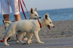 White-Swiss-Shepherd-Puppies-BTWW-N-Litter-05062019-0012