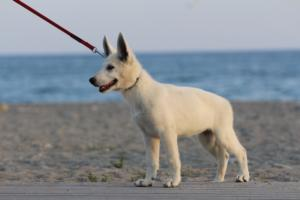 White-Swiss-Shepherd-Puppies-BTWW-N-Litter-05062019-0014