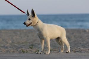 White-Swiss-Shepherd-Puppies-BTWW-N-Litter-05062019-0015