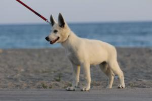 White-Swiss-Shepherd-Puppies-BTWW-N-Litter-05062019-0016
