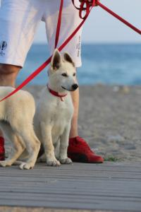 White-Swiss-Shepherd-Puppies-BTWW-N-Litter-05062019-0017