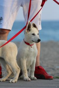 White-Swiss-Shepherd-Puppies-BTWW-N-Litter-05062019-0020