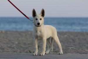 White-Swiss-Shepherd-Puppies-BTWW-N-Litter-05062019-0022