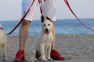 White-Swiss-Shepherd-Puppies-BTWW-N-Litter-05062019-0024