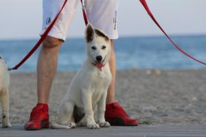White-Swiss-Shepherd-Puppies-BTWW-N-Litter-05062019-0025